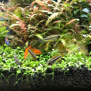熱帯魚 アピストグラマ カカトゥオイデス