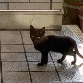 黒猫 かわいい子猫 人への警戒心薄い どなたか幸せにしてい…