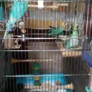 セキセイインコ5羽(♂4♀1)です。