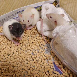 【交渉中】ファンシーラット11月9日産まれ3匹