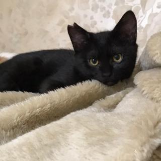 3ヶ月黒猫男の子ぐーちゃん(代理投稿)