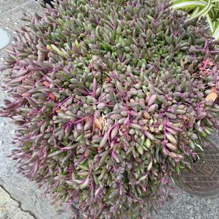 珍しい多肉植物 鉢植え 花台セット