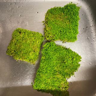 「水草」ニューラージパールグラス 10センチ角② - その他