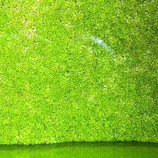 「水草」ニューラージパールグラス 10センチ角② - 札幌市