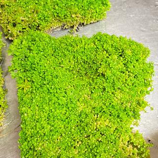 「水草」ニューラージパールグラス 10センチ角② − 北海道