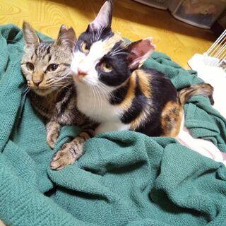 三毛猫さん、キジ猫さんの里親さん求む ~希望は2匹一緒に~