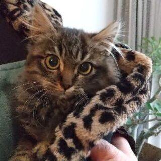 生後2~3ヶ月位長毛の子猫(問い合わせは12/30迄で締切にした...
