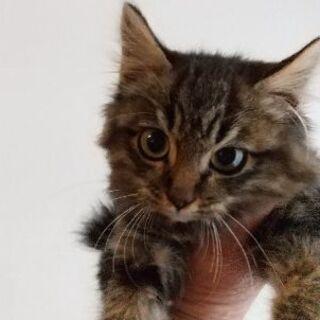 生後2~3ヶ月位長毛の子猫(問い合わせは12/30迄で締切にしたいと思います) - 佐倉市
