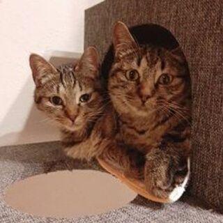 キジトラ♂2匹 兄弟