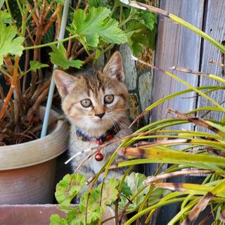 急募、子猫の里親募集(2ヶ月メス)