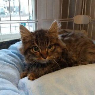 生後2~3ヶ月位長毛の子猫(問い合わせは12/30迄で締切にしたいと思います) - 猫