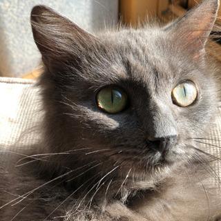 【お見合い決定】推定2歳 大人しいシルバー美人猫