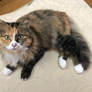 三毛の保護猫