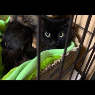 黒猫長毛 オス