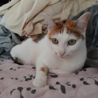 メスの三毛猫 1才です