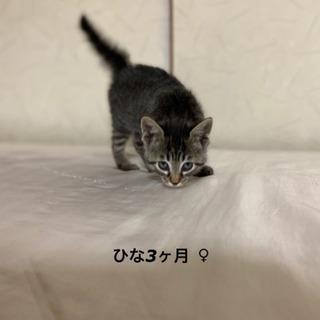 【お見合い中】 美人顔の子猫 ひなちゃん