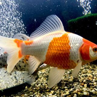 金魚と空気清浄機セットあげます