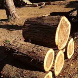 玉切り 針葉樹