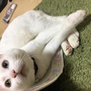 7歳の毛並みの綺麗な白猫です