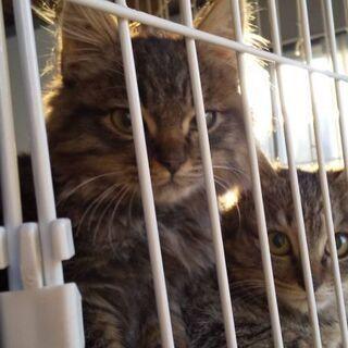 生後2~3ヶ月位長毛の子猫(問い合わせは12/30迄で締切にしたいと思います) - 里親募集