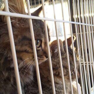 生後2~3ヶ月位長毛の子猫(問い合わせは12/30迄で締切にしたいと思います) − 千葉県