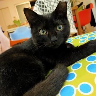 おめめパッチリ黒猫 オス4ヶ月