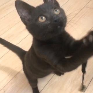 高級ジュータンのような毛並みの黒猫ジジ(4か月)