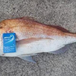 防波堤からの真鯛釣り
