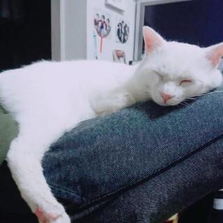 白猫(成猫)