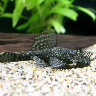 【お買い得】ミニブッシープレコの幼魚