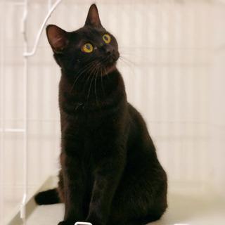 珍しい縞が入った黒猫(※去勢手術済)