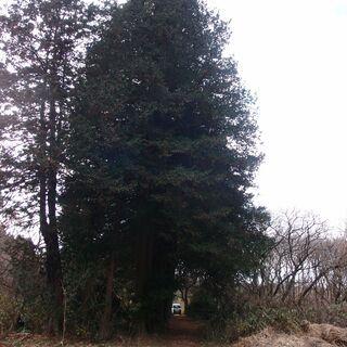 福島県発 中島村発 立木を伐採して原木の処理をお願いします 約3...