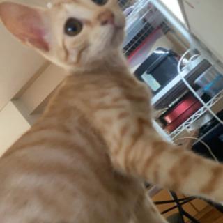 生後7ヶ月の困り顔の茶トラとイケメン黒猫の兄妹猫ちゃんです