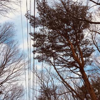 【取引き中】松の木を伐倒して頂けますか? - 那須塩原市