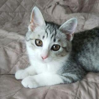 グレーサバ白子猫の可愛いべっぴんさん