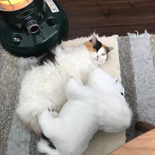 里親募集 三毛猫
