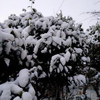 白河と西郷村の本日(1/8)の積雪状況