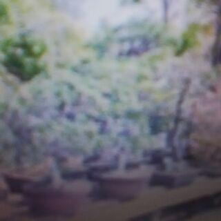 【神奈川・東京】盆栽(鉢植え)処分「横浜・川崎・相模原・厚木・横...