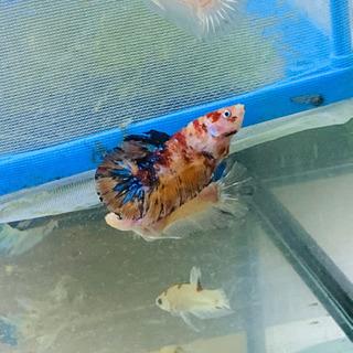 魚 ベタ恋、ネモキャンディ、恋ガラックシー