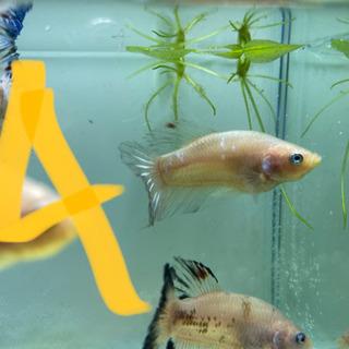 魚 ベタ - 家具