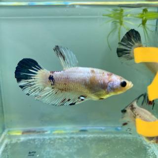 魚 ベタ - 碧南市