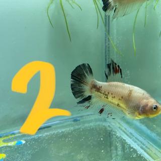 魚 ベタの画像