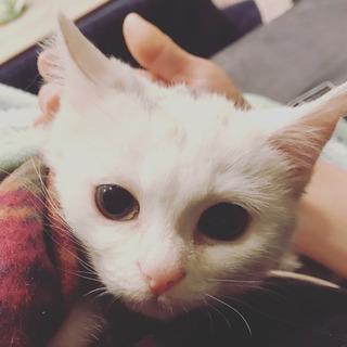 生後3ヶ月、白猫ちゃん メス