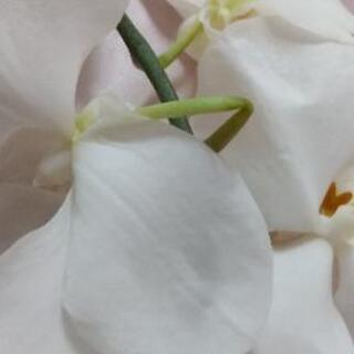 押し花用に胡蝶蘭