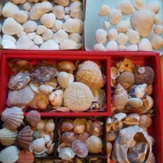 貝殻 オブジェ 材料