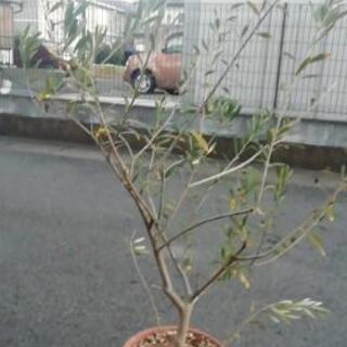 オリーブの木1.1m特大素焼き鉢ごと