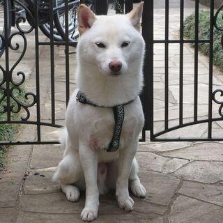 【受付を一旦ストップ致します】白い柴犬 新しい飼い主を探していま...