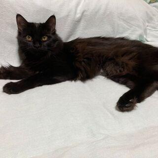 8か月の黒猫 メス 里親になってください