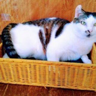 落ち着いたかわいいミケ猫です。