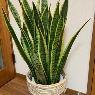 観葉植物 売ります (取引終了致しました)の画像